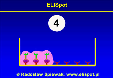 Fourth step in ELISpot
